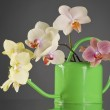 Multicolor phalaenopsis orchid flowers in a watering can — Stock Photo #29409353