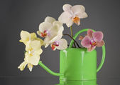 Multicolor phalaenopsis orchid flowers in a watering can — Stock Photo
