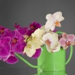 Multicolor phalaenopsis orchid flowers in a watering can — Stock Photo #30754563