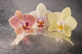 Orchid phalaenopsis flowers — Stock Photo