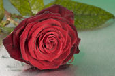 Red rose flower lying on wet surface — Stock Photo