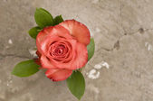 Rose flower over grunge background — Stock Photo