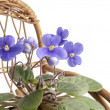 Purple violet flowers in a pot on a rocking wicker chair — Stock Photo