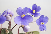 Purple violet flowers — Stock Photo