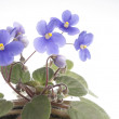 Purple violet flowers over white background — Stock Photo
