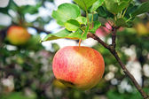 Fresh red apple hanging on branch — Stock Photo