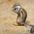 Ground Squirrel - Stock Photo
