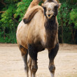 Two-humped Camel — Stock Photo
