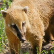 Coatimundi - Stock Photo
