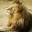 Stock Photo: Portrait Of Lion