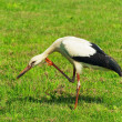 Stork at Grass - Stock Photo