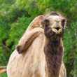 Photo of the Camel - Stok fotoğraf