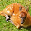 Bushbuck Antelope - Photo
