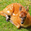 Bushbuck Antelope - Stock Photo