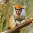 Patas Monkey - Stock Photo