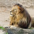 Lion On The Sand - Foto Stock