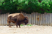 The Bison — Stock Photo