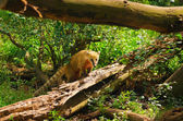 Ring-tailed Coati — Stock Photo