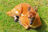 Bushbuck Antelope — Stock Photo