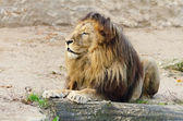 Lion On The Sand — Stock Photo