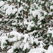 Stock Photo: Fir Branches