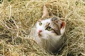 干し草の猫 — ストック写真