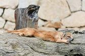 Mongoose — Stock Photo