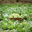 Stock Photo: Cabbage Field