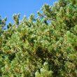 Stock Photo: Pine Branches