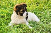Puppy — Stok fotoğraf