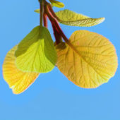 Kiwi Leaves — Stock Photo