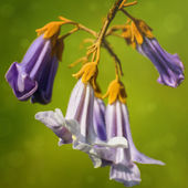 Paulownia Flowers — Stock Photo