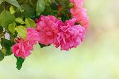 Rosebush — Stockfoto