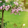 Rosebush — Stock Photo #49647681