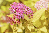 Japanese Spiraea — Stock Photo