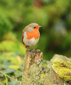 Wonderful Red Robin — Stock Photo