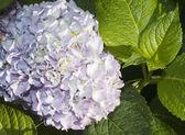 Many fresh blossom hydrangea flowers — Stock Photo