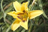 Daylily on garden background — Stock Photo