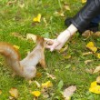 Red squirrel and hand feedding - Stock Photo