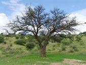 Acacia erioloba - Camel thorn — Stock Photo