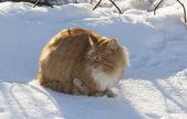 El gato rojo — Foto de Stock