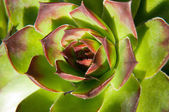 Image of green sempervivum plant — Stockfoto