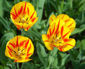 Kwiaty tulipanów — Zdjęcie stockowe