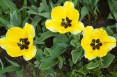 Kwiat żółty tulipan — Zdjęcie stockowe