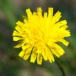Taraxacum officinale — Stock Photo #36116005