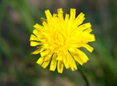 Taraxacum officinale — Stock Photo
