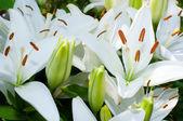 Bright white lilys — Stock Photo