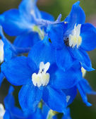 Delphinium or larkspur flower — Stock Photo