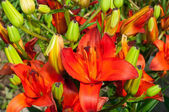 Red lily — Stockfoto