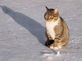 在雪上的猫 — 图库照片